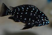 Tropheus Duboisi 3cm