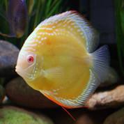 Albino Yellow Marlboro 9 cm