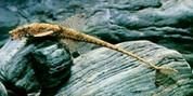 Whiptail catfish 7cm