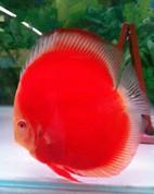 Albino Red Discus 14-15 Cm