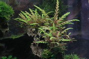 Hygrophila pinnadifita on lava rock 15 cm