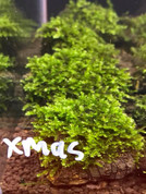 True Christmas Moss on Lava Rock