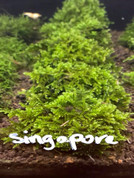 Singapore moss On lava Rock