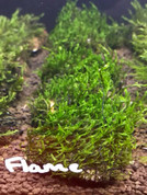 Flame Moss on Lava Rock (Rare)