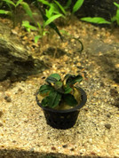 Bucephalandra in Mini Pots