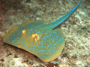 Blue Dot Stingray 20-30CM