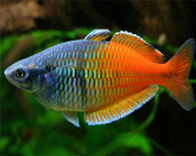 Boeseman's Rainbowfish 7 cm