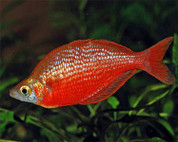 Red Rainbowfish 7 cm