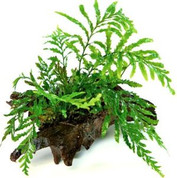 Bolbitis heudelotii - Mini Driftwood