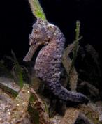 Seahorse - Black Kuda