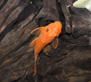 SUPER RED BRISTLENOSE PLECO (ANCISTRUS SP.) 5CM