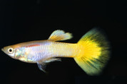 Female Yellow German Guppy (Qty 10)