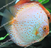 White Butterfly Discus 14-15cm