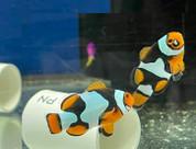 ONYX PERCULA CLOWN FISH PAIR