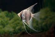 Peruvian Altium Angelfish 3CM F1