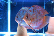 Super Eruption Breeding Pair 15-16 cm Pair