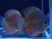 Wild Red/Brown Discus 14-15 cm