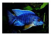 BLUE PEACOCK. 7 cm
