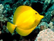 Yellow Tang - Hawaii (Zebrasoma flavescens)