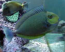 Vlamingii Tang Naso Vlamingii Sydney Discus World Aquariums Online