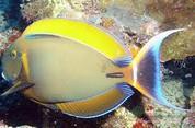 Black Spot Tang (Acanthurus bariene)