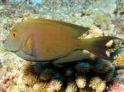Orange Stripe Bristletooth Tang (Ctenochaetus cf. striatus)