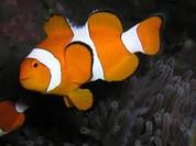 Ocellaris Clownfish, Tank Bred (Amphiprion ocellaris)