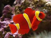 Yellowstripe Maroon Clownfish (Premnas biaculeatus)