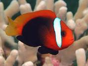 Cinnamon Clownfish (Amphiprion melanopus)