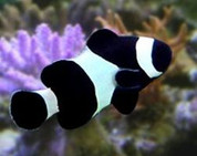 Black & White Ocellaris Clownfish (Amphiprion ocellaris var.)