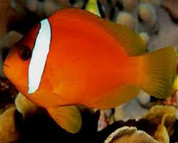 Fiji Barberi Clownfish (Amphiprion barberi)