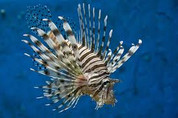 Volitan Lionfish, Colored (Pterois volitans)