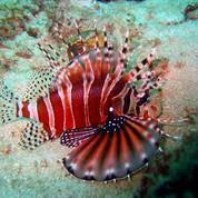 Dwarf/Zebra Lionfish (Dendrochirus zebra)