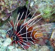 Radiata Lionfish (Pterois radiata)