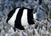 Three Stripe Damselfish (Dascyllus aruanus)5cm