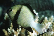 Two Stripe Damselfish (Dascyllus reticulatus) 5cm