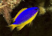 Fiji Blue Devil Damselfish (Chrysiptera taupou)5cm