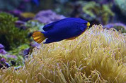 Orangetail Blue Damselfish (Chrysiptera cyanea)5 cm