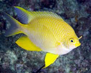Yellow Damselfish (Amblyglyphidodon aureus) 5 cm