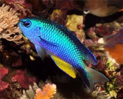 Neon Damselfish (Pomacentrus alleni) 5cm