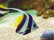 Heniochus Black & White Butterflyfish (Heniochus acuminatus)