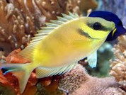 Blue Spotted Rabbitfish (Siganus tetrazonus)