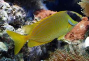 Decorated Rabbitfish (Siganus puellus)