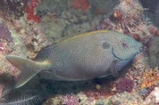 Gold Spotted Rabbitfish (Siganus punctatus)