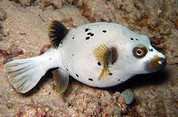 Arothron Dog Face Puffer (Arothron nigropunctatus)