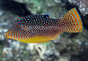 Papuan Toby Puffer (Canthigaster papua)