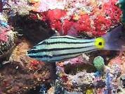 Five Lined Cardinalfish (Cheilodipterus quinquelineatus)