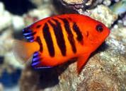 Flame Angelfish 7cm