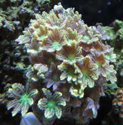 Palm tree coral 10CM
