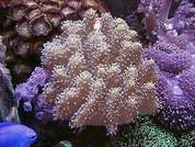 Finger leather/lobophytum coral care 10CM
